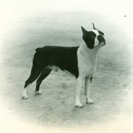 Boston Terrier Dog Breed Characteristics Facts And Names Pet