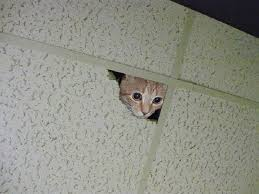kitten climbed to the dropped ceiling