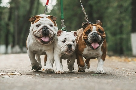 bulldogs on a walk