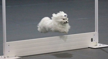 maltese running over the obstacle