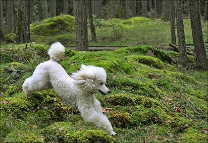poodle in wild