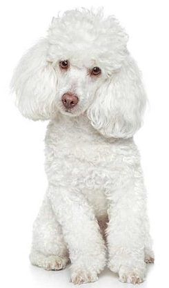 poodle dog breed overview