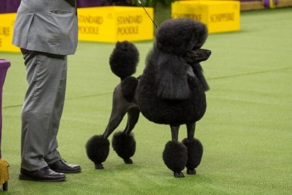 poodle in a show