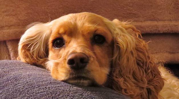 Dog Ear Cleaner FAQs