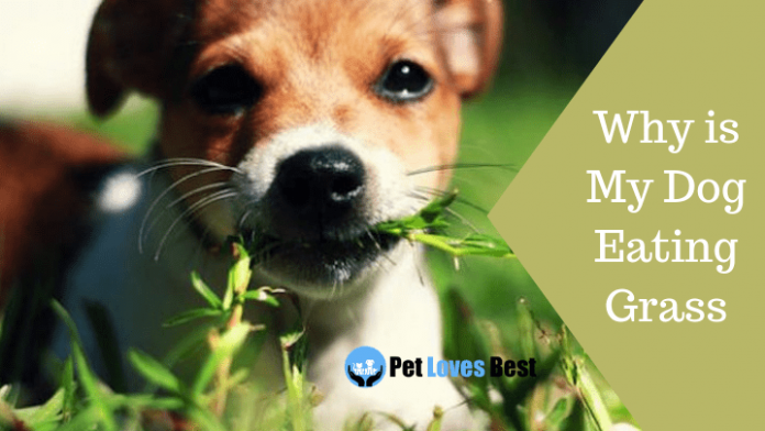 Featured Image Why is My Dog Eating Grass