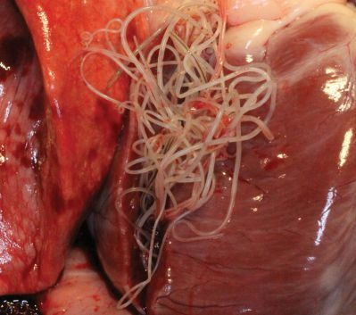 heart of the dog infested with heartworms