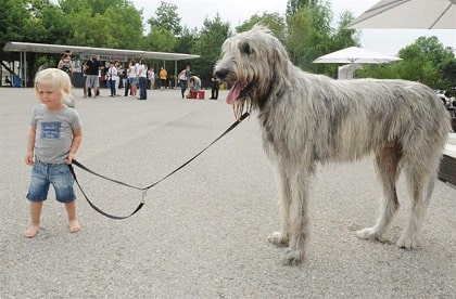 irish wolfhound size and other features