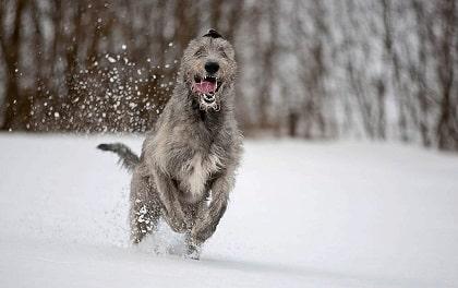running irish wolfhound