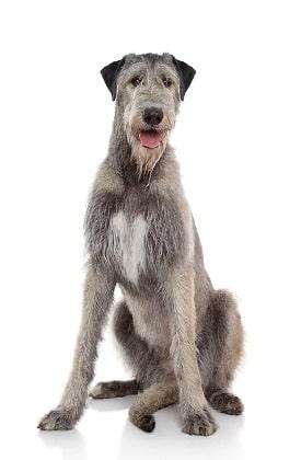 irish wolfhound Dog Breed Overview