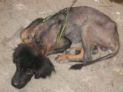 dog shedding due to flea infestation