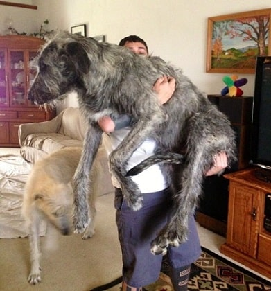 irish wolfhound in a house