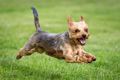 yorkshire terrier running