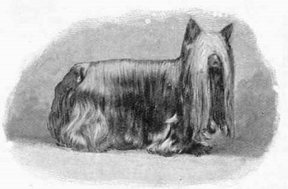 yorkshire terrier origin