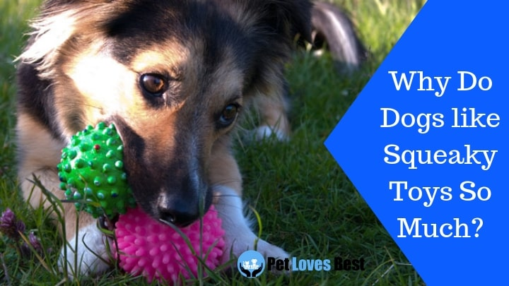 Featured Image Why Do Dogs like Squeaky Toys So Much?