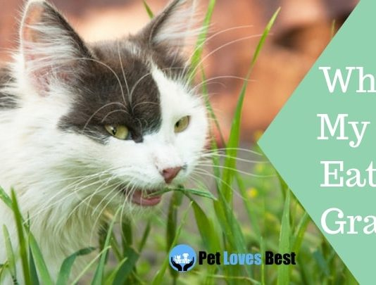 Featured Image Why is My Cat Eating Grass?