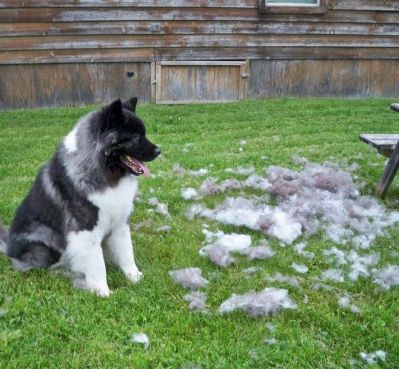 cleaning the dog fur using robotic vacuum cleaner