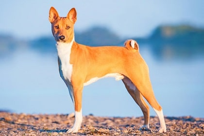 basenji dog features