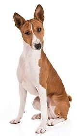 basenji dog breed overview