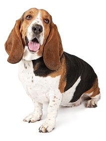 basset hound dog breed overview