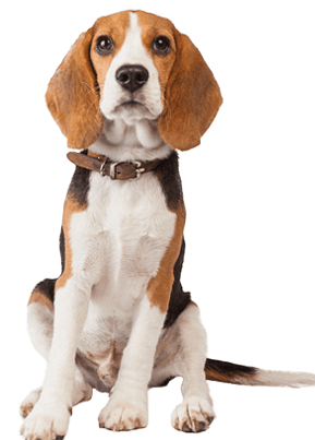beagle dog breed overview