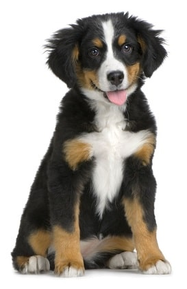 bernese mountain dog breed overview