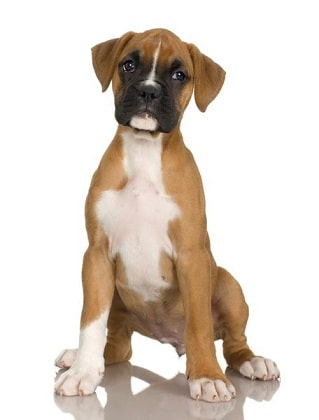 Boxer Dog Breed Overview
