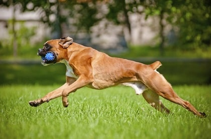 boxer running
