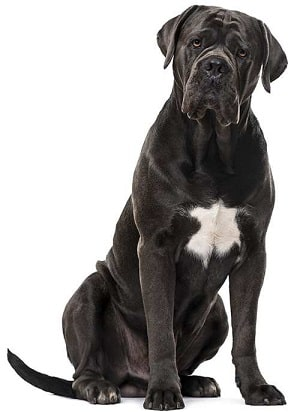 cane corso dog breed overview