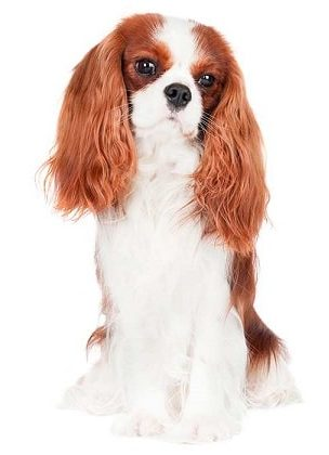 cavalier king charles spaniel dog breed overview