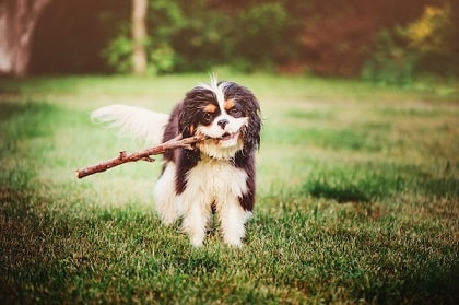 cavalier king charles spaniel playing fetch