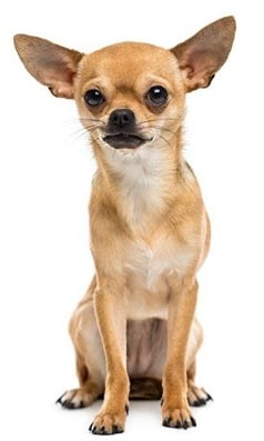 chihuahua dog breed overview
