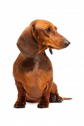 dachshund dog breed overview