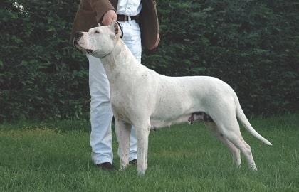 Dogo Argentino Dog Breed: Characteristics, Diet, Training ...