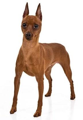 miniature pinscher dog breed overview