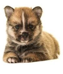 pomsky dog breed overview