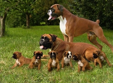 boxer dog family