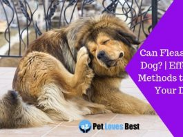 Featured Image Can Fleas Kill a Dog? | Effective Methods to Save Your Dog