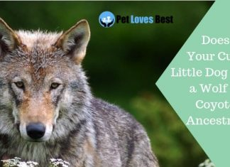 Featured Image Does Your Cute Little Dog Have a Wolf or Coyote Ancestry