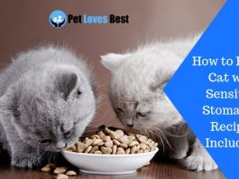 Featured Image How to Feed a Cat with Sensitive Stomach – Recipes Included!