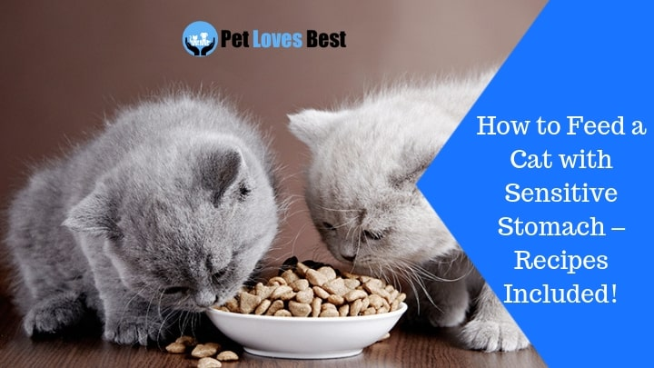 How to Feed a Cat with Sensitive Stomach - Recipes Included! - Pet Loves Best
