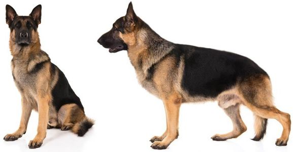 side and front face of german shepherd
