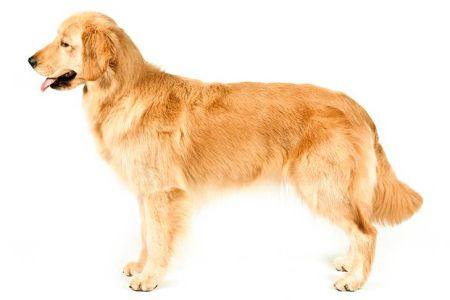 side face golden retriever