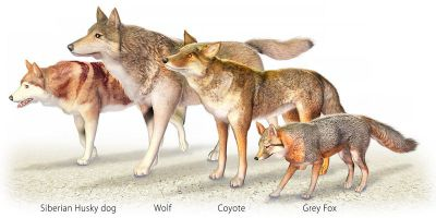 wolf or coyote ancestry