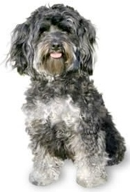 maltipoo dog breed overview