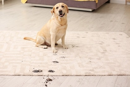 how to remove pet stains and odor from carpet