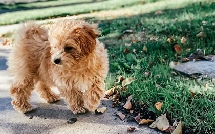 maltipoo dog in a park