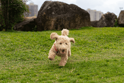 a toy breed dog exercising