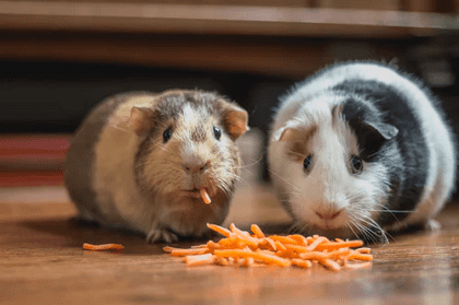 guinea pigs as exotic pets