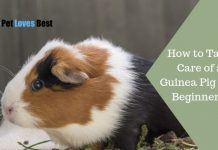 Featured Image How to Take Care of a Guinea Pig (For Beginners)