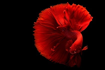 Orange Betta Fish